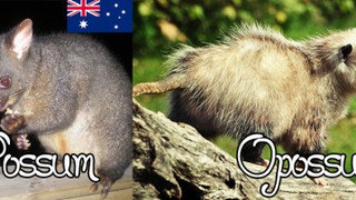 Opossum vs. Possum - What's the Difference?