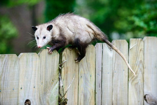 Do Opossums Carry Diseases?