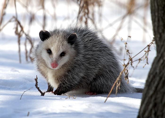 An opossum in winter
