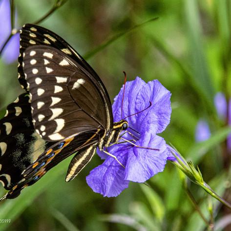 Butterfly_27A-W.jpg
