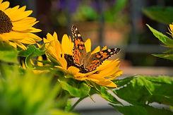 sunflower-4401518.jpg