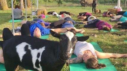 goat yoga lying down.jpg