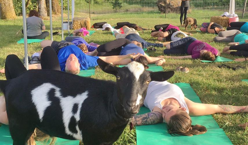 goat yoga lying down.jpg