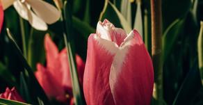 Keukenhof opent virtueel - de mooiste bloemen komen digitaal tot leven