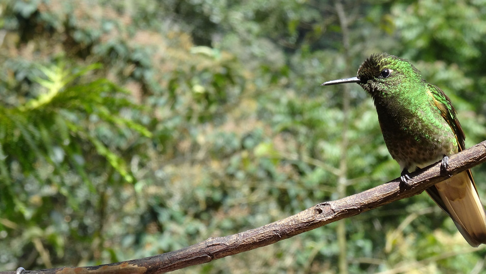 hummingbirdsalento