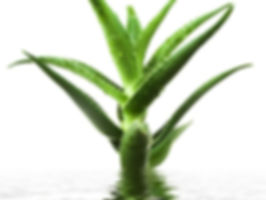 Optimized-Aloe-Vera-benefits.jpg