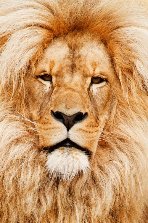 A real lion, different but similar to Like It Or Not Apparel