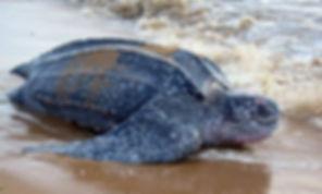 leatherback sea turtle.jpg