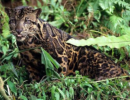 sunda-clouded leopard.jpg
