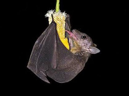 cave nectar bat.jpg