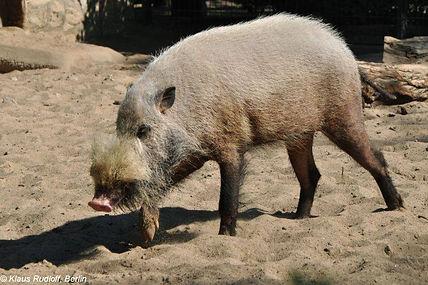 bearded pig.jpg