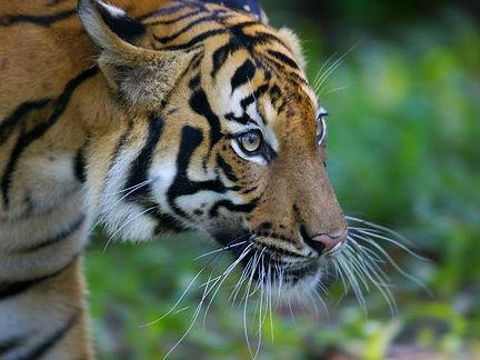 Malayan tiger.jpg