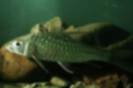 Mahseer fish.jpg