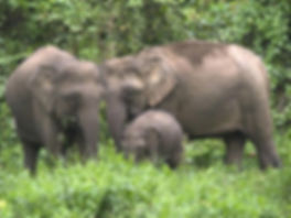 bornean pygmy elephant.jpg