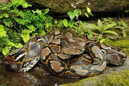 Reticulated python.jpg