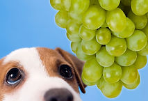 jiu_rf_photo_of_sad_dog_and_grapes.jpg