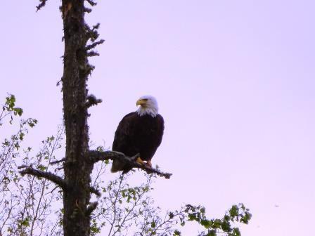 North Bay Eagle 2
