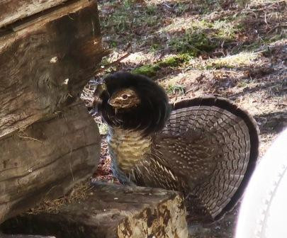 great grouse 2