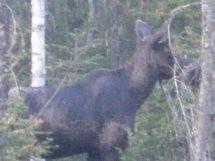 Minta moose 2