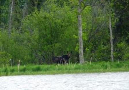Strum moose