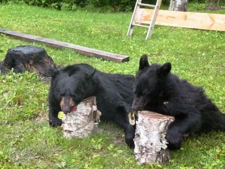 bearscomp