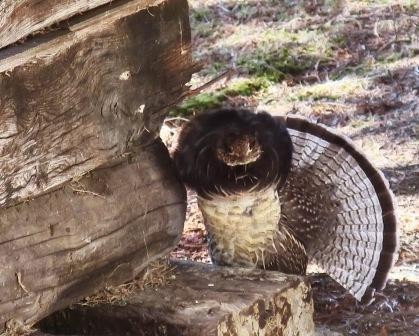 great grouse 3