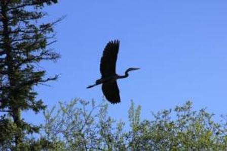 heron flight2