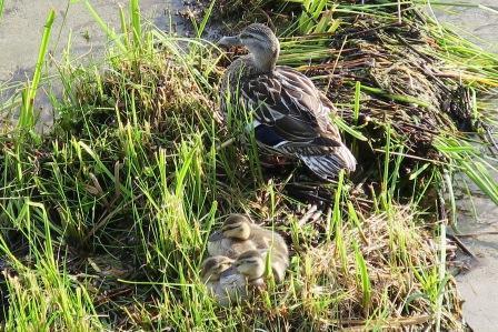 ducksongrass