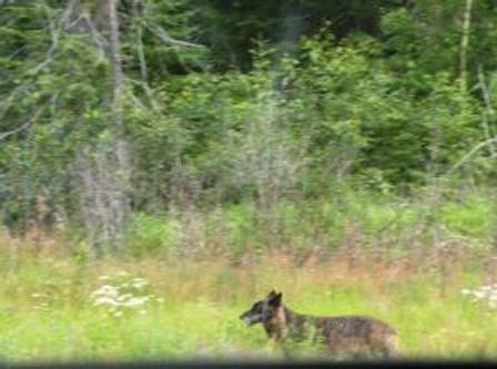 mywolf