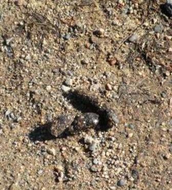 fox poop