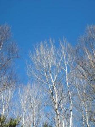 birch on blue sky