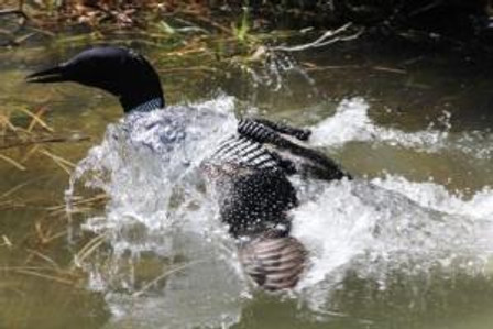 loon over there lookatme1