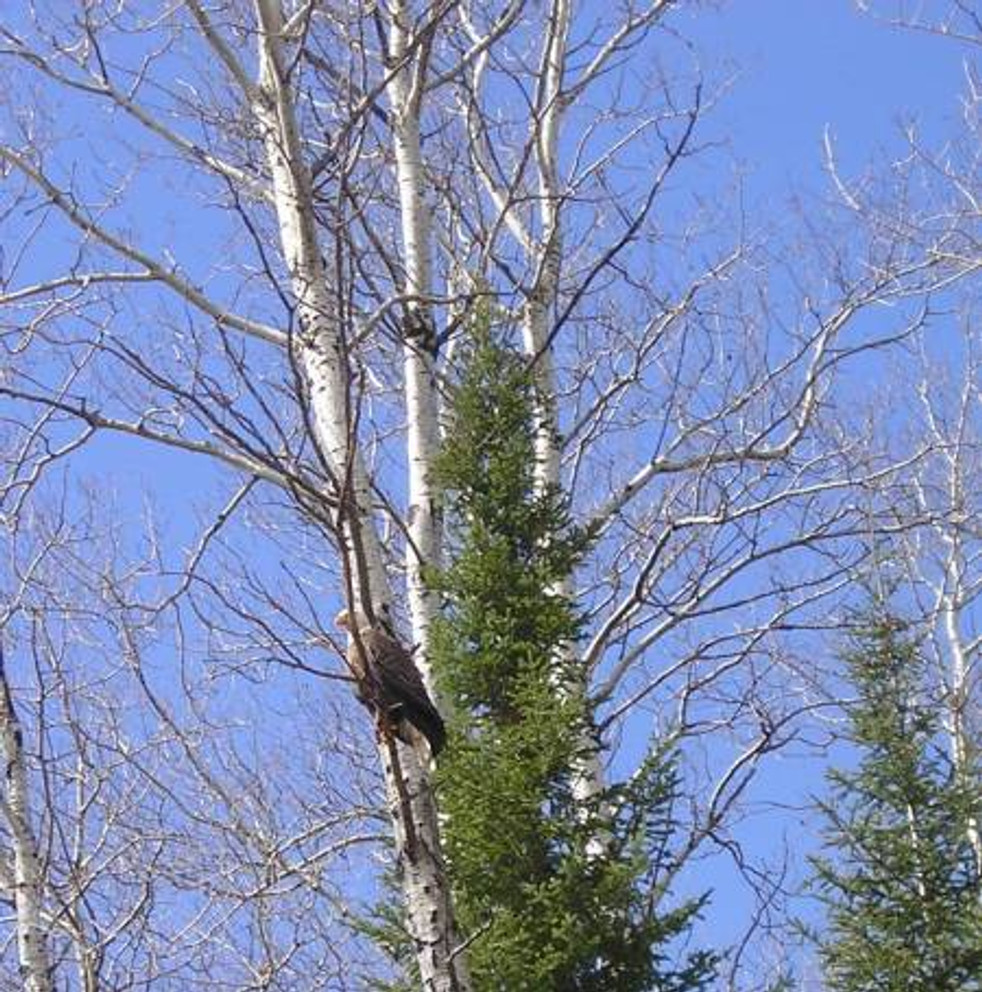 eagle-in-tree