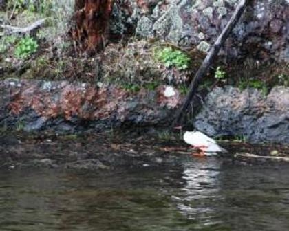 wet foot merganser