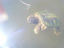 Minta turtle 2