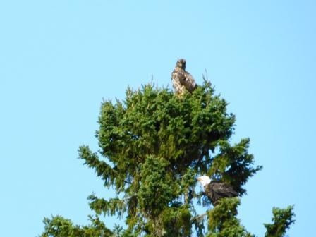eaglessametree