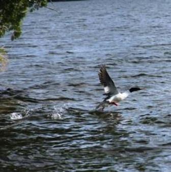 wet foot merganser takeoff