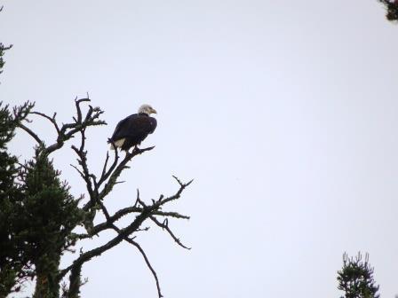 northbay eagle