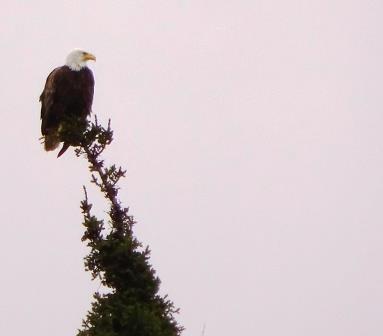 North Bay Eagle