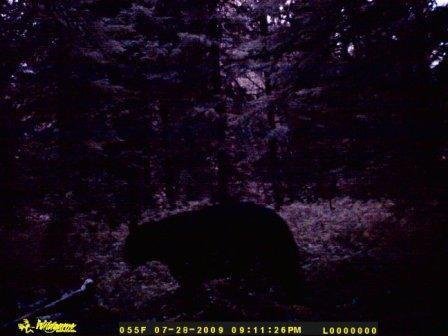 A night shot...maybe the same bear?