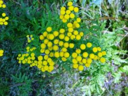 flower1commontansy