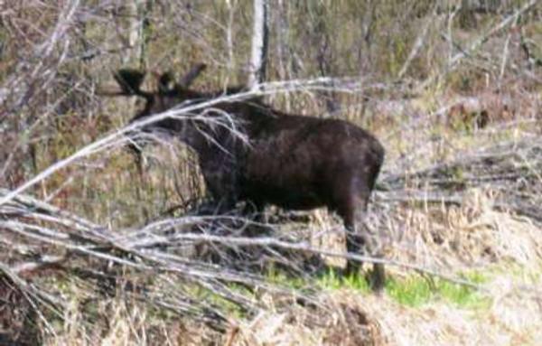 Rachels moose