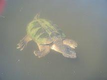 Minta turtle 1