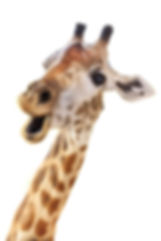 Giraffe head face look funny isolated on