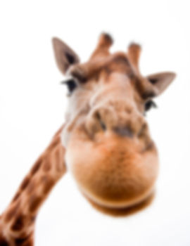 Close-up of a Funny Giraffe on a white b
