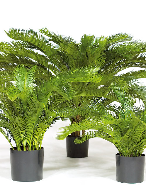 Cycas Palm Deluxe