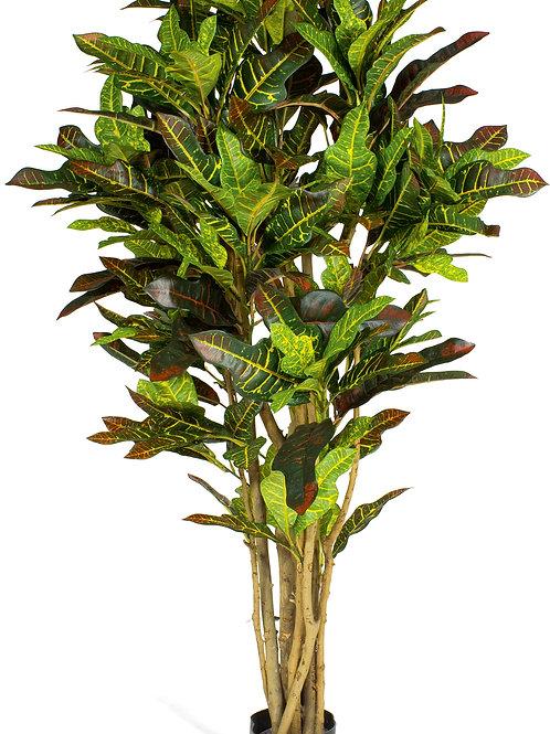 Croton Extra