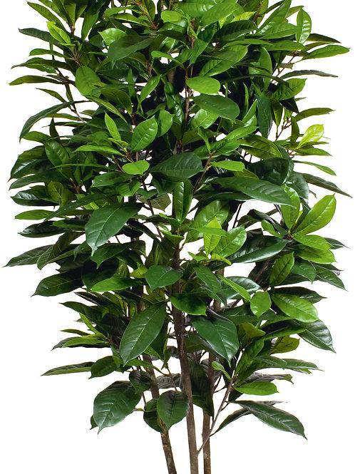 Ficus Cyasthistipula