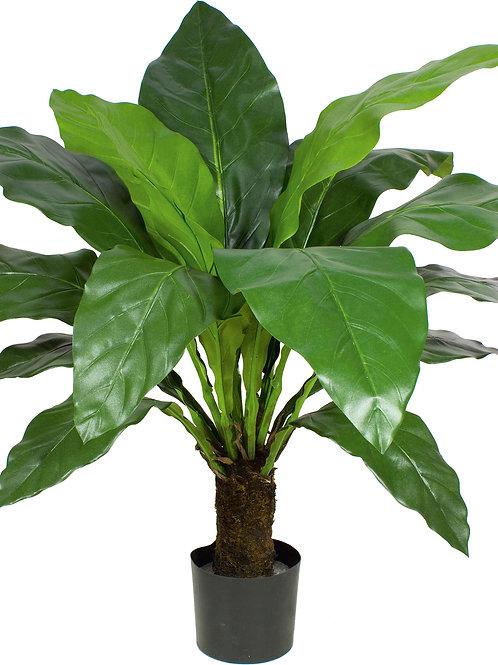 Jungle King Anthurium