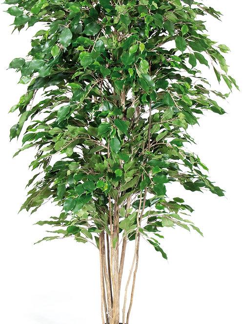 Ficus Exotica Deluxe